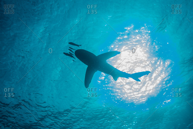 White tip shark (Carcharhinus longimanus) swimming with small fish, low angle view, underwater view, Brothers island, Egypt