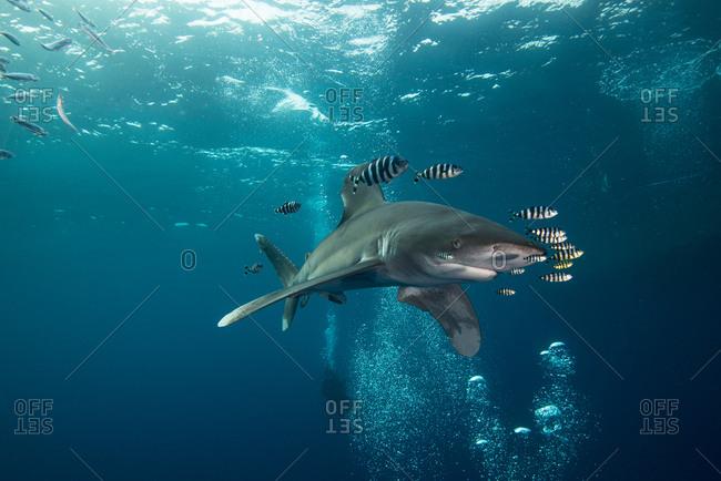 White tip shark (Carcharhinus longimanus) swimming with pilot fish, underwater view, Brothers island, Egypt