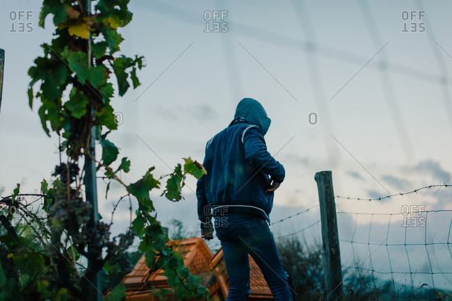 Rear view of man carrying crate in vineyard