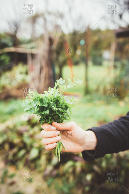 Hand of young woman holding bunch of herbs in garden