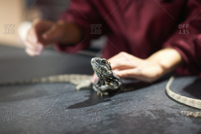 Hands of college students handling frill-necked lizard in lab