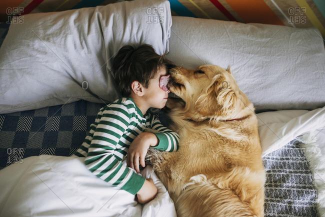 Golden retriever dog licking a boys face