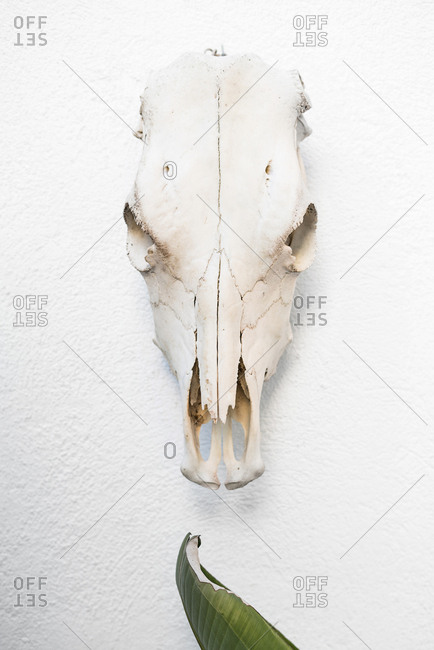 The horse skull placed on the white painted wall. Vertical indoors shot.