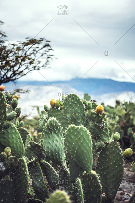 Prickly pear plant growing in the mountains of Peru. Vertical outdoors shot.