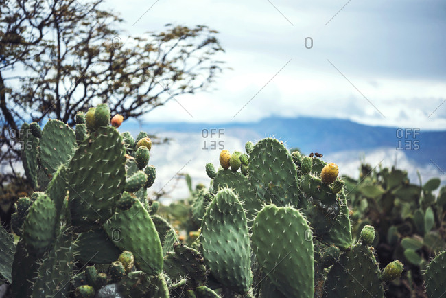 Prickly pear plant growing in the mountains of Peru.