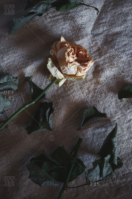 View from above of a withered rose flower