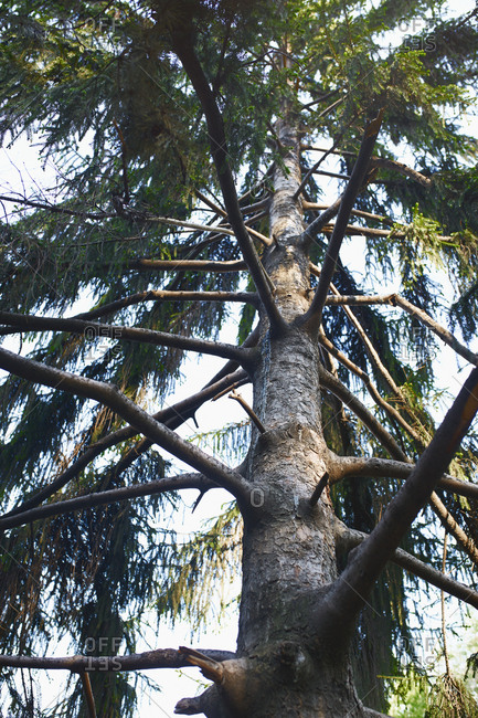 Low angle view on a high pine tree