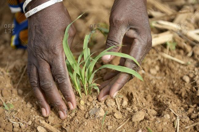 Burkina Faso - village Koungo - woman planting sorghum plant