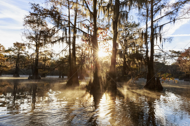 USA - Texas - Louisiana - Caddo Lake - Benton Lake - bald cypress forest