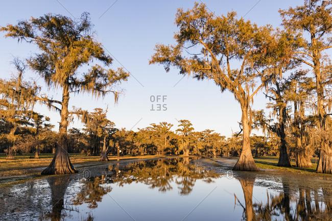 USA - Texas - Louisiana - Caddo Lake - bald cypress forest