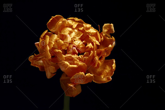 Withered tulip in front of black background