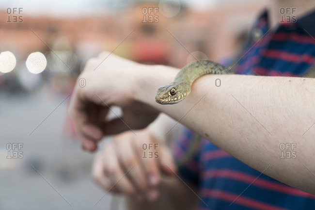 Morocco - snake on tourist's arm