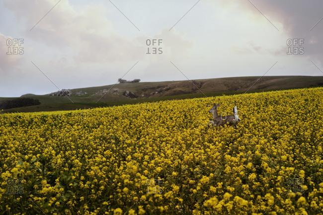 Doe in a flower field