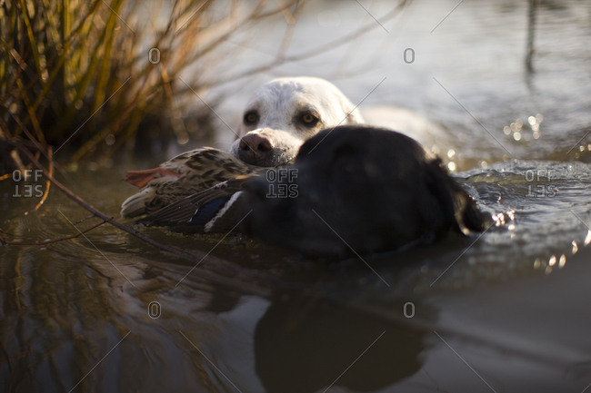 Hunting dog carrying duck through a river