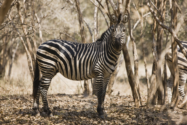 Zebra by trees