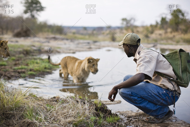 Man crouching by a lioness in a pond