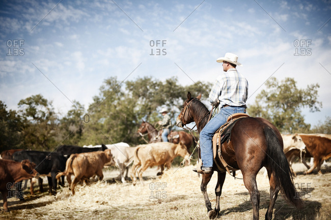 Man on horseback herding cows