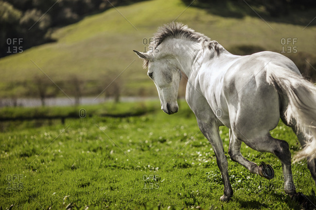 White horse galloping in a paddock
