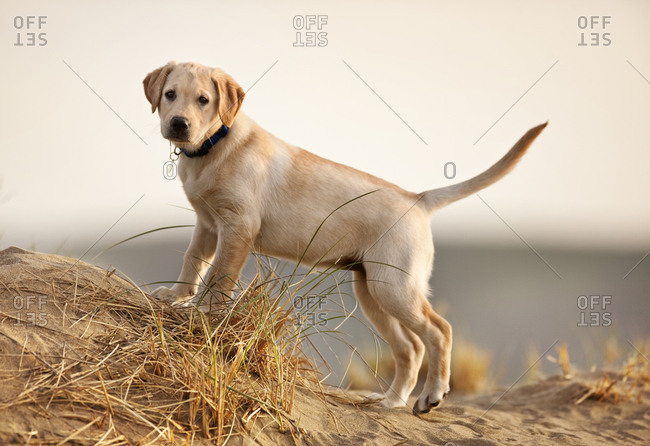 Yellow Labrador puppy at a beach