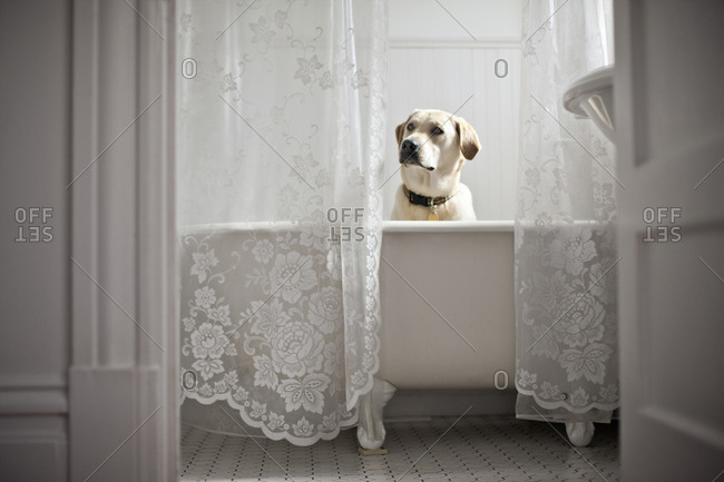 Yellow Labrador sitting in a bath tub