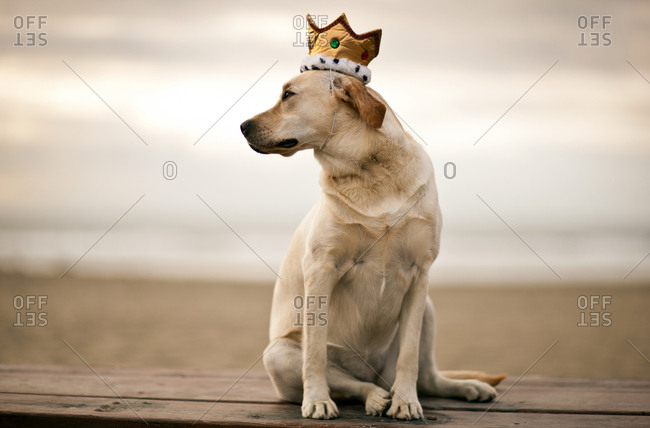 Yellow Labrador wearing a crown