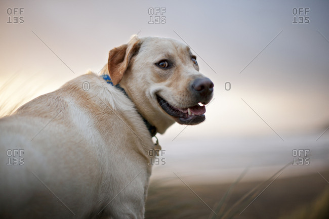 Yellow Labrador at a beach