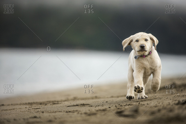 Yellow Labrador puppy running on a beach