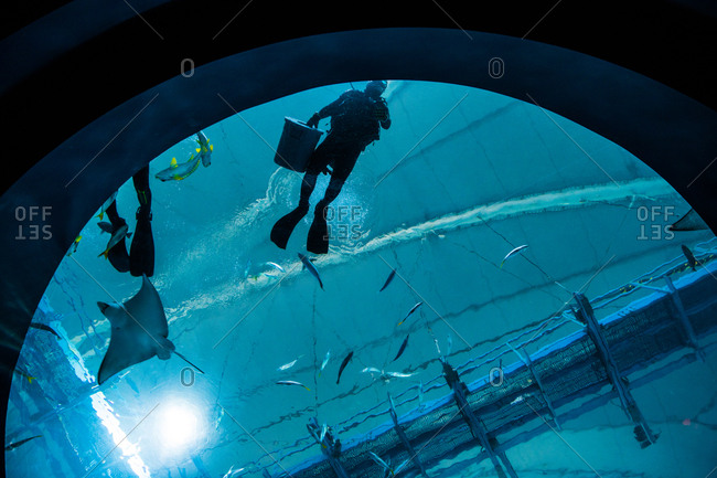 A diver in sea aquarium feeding the marine life.