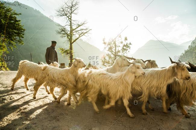Himalayas - June 2, 2014: A shepherd in the Himalayas.