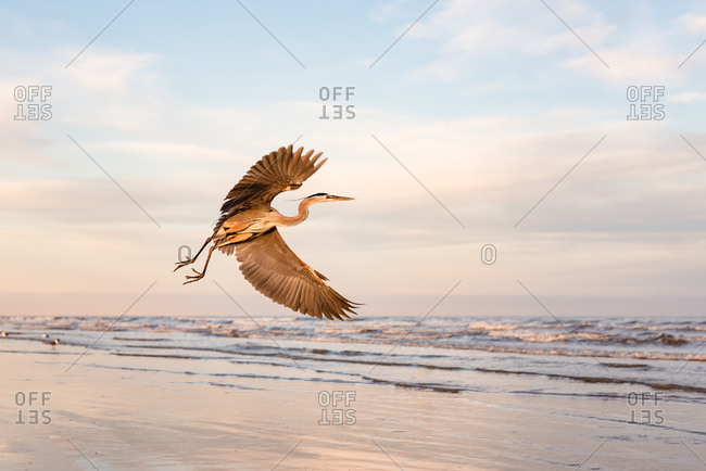 Great blue heron flying over beach on Galveston Island, Texas