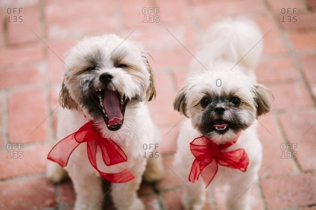 Two fluffy puppies with red bows