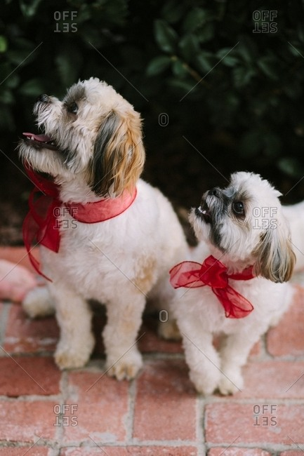 Two furry puppies with red bows