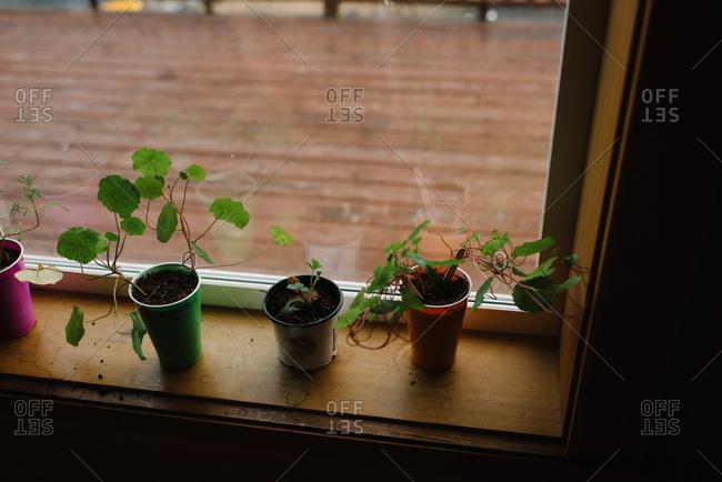 Seedlings in cups on windowsill