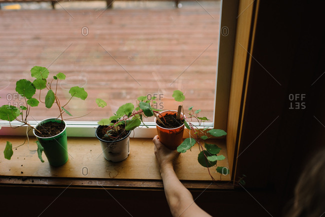 Child placing cup with seedlings on windowsill