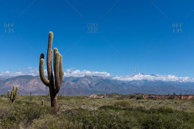 Giant cactus in Los Cardones National Park, Argentina