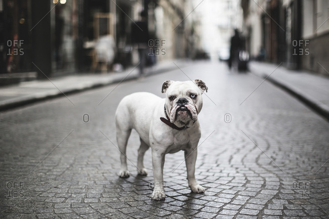 Paris, France - May 13, 2015: A bulldog with two different eye colors seen on a street in Paris.
