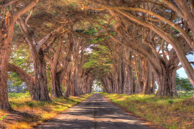 A road through cypress trees, California