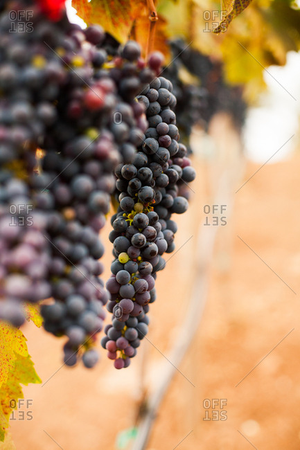 Clusters of grapes growing in a vineyard in the Sonoma Valley