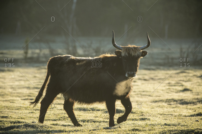 A bull wanders the meadows on a frosted spring morning at the Lake Pape Rewilding site, Latvia