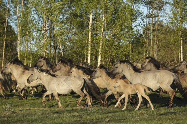 Polish ponies running in the countryside in Latvia