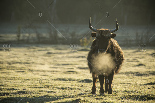A bull wanders a frosty field at the Lake Pape Rewilding site, Latvia