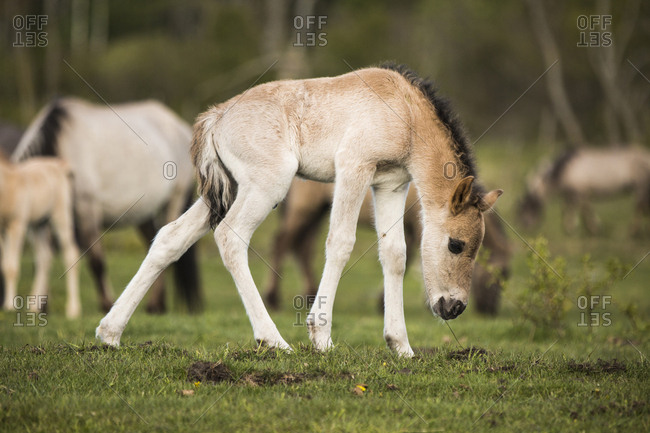 Young Polish ponies in the countryside in Latvia