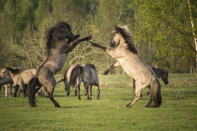 Wild horses fighting in rural Latvia