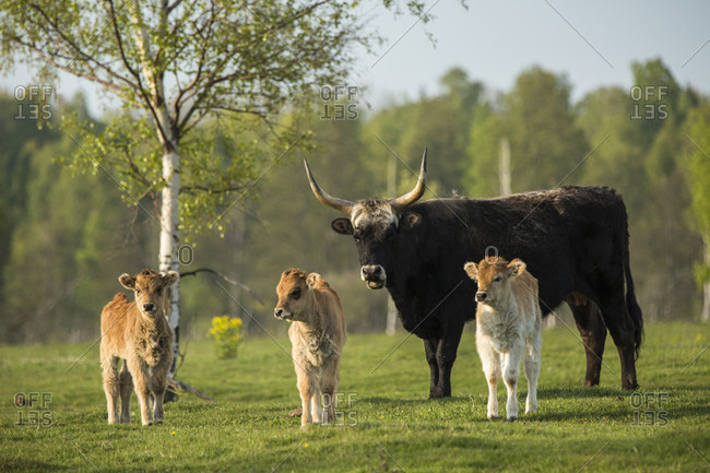 Cow and three calves in Latvia