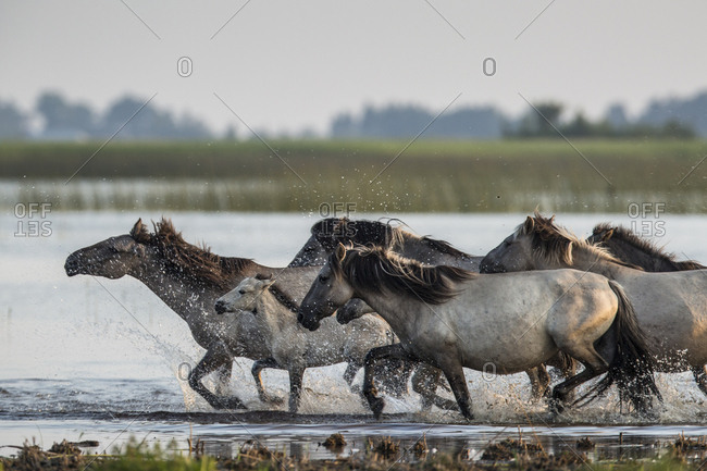 Rewilded Konik Poski horses running in Lake Pape, Latvia