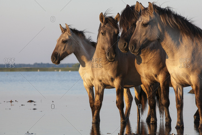Rewilded Konik Poski horses in Lake Pape, Latvia