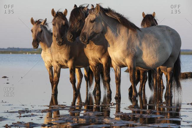 Rewilded Konik Poski horses standing in Lake Pape, Latvia