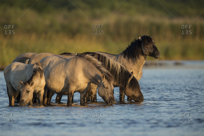 Rewilded Konik Poski horses drinking water from Lake Pape, Latvia
