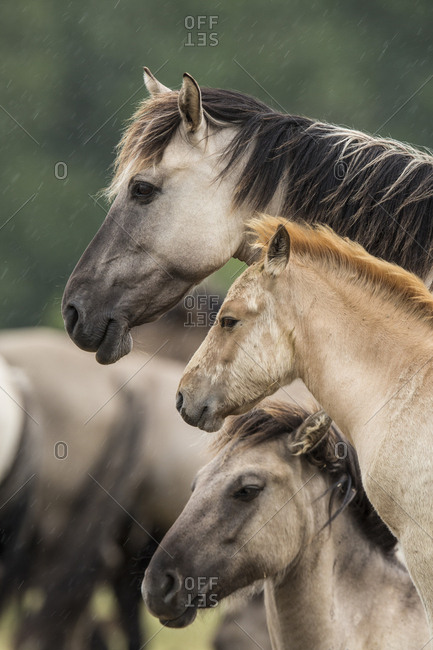 Rewilded Konik Poski horses standing in the rain, Latvia