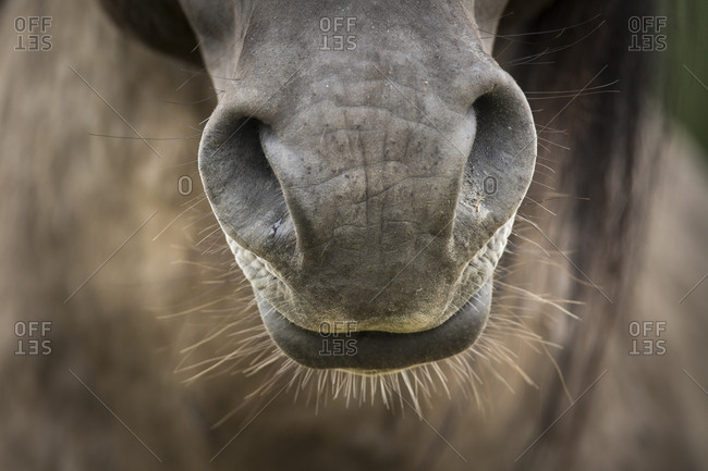 Close up of a Konik Poski horse's muzzle